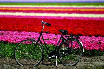 Tulpen_und_Rad